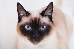 Grey Siamese cat with blue eyes close-up. Cat`s face stock photos