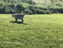 Grey Siamese cat hunts on a green lawn on a Sunny summer day stock photo