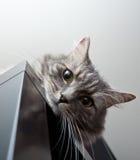 Grey siberian cat laying on cupboard Stock Image