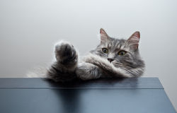 Grey siberian cat laying on cupboard Royalty Free Stock Photography