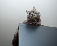 Grey siberian cat laying on cupboard Royalty Free Stock Photo