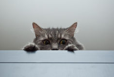 Grey siberian cat laying on cupboard Stock Images