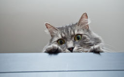 Grey siberian cat laying on cupboard Royalty Free Stock Images