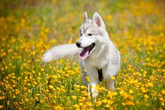 Grey siberian husky portrait Stock Photos