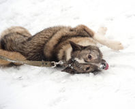 Grey Siberian Laika lying around on snow Royalty Free Stock Photos