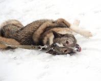 Grey Siberian Laika lying around on snow Royalty Free Stock Photos