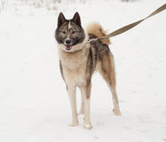 Grey Siberian Laika standing on snow Royalty Free Stock Image