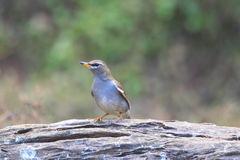 Grey-sided Thrush Stock Images