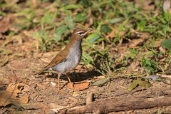 Grey-sided Thrush in Thailand Stock Images