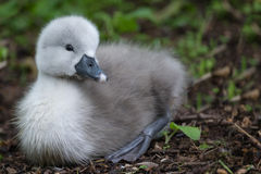 Grey Signet. Photo of signet (baby Swan Royalty Free Stock Photography