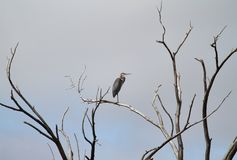 Grey Sky Great Blue Heron. Lone Heron against a grey sky. Highline Lake State Park in Western Colorado is fine for outdoor recreation and migratory bird and royalty free stock photos