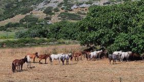 Skyros Ponies, Greece. Syryos ponies, a small breed of horse indigenous to Greece, now rare, endangered and protected, and found mainly on the island of Skyros Stock Photos