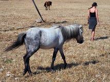 Grey Skyros Pony, Griekenland Royalty-vrije Stock Foto's