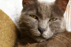 Grey sleepy cat Stock Photos