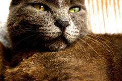 Grey sleepy cat Royalty Free Stock Image