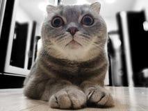 Grey cat, British fold breed. Grey small cat royalty free stock image