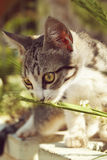 Grey small cat smells blade of grass Stock Photo
