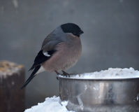 Grey small cute bird like sparrow sitting at feeder and look. Grey small cute bird like sparrow sitting at the feeder and looking at snow royalty free stock photography