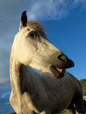 Grey smiling horse. Beautiful portrait of a grey smiling horse Royalty Free Stock Photos
