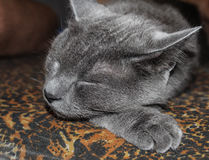 Grey smooth-haired cat lying on the sofa. Close-up. Royalty Free Stock Photos
