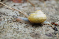 Grey snail with a yellow shell Stock Photo