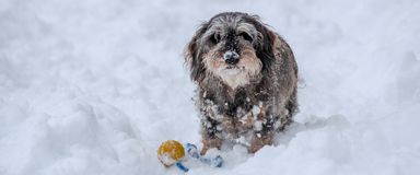 A grey and snowy dachshund playing with a ball Royalty Free Stock Images