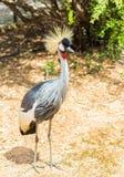 Grey South African coronó la grúa en el parque zoológico de la Atica Fotos de archivo libres de regalías