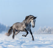 Grey Spanish horse gallops on snowfield. Grey purebred Andalusian horse gallops on snowfield Stock Photography