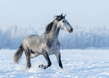 Grey Spanish horse runs trot in winter snowy field Stock Photo