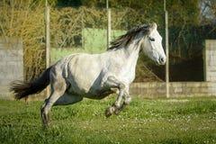Grey Spanish-Pferd, das voll in eine Wiese von G?nsebl?mchen galoppiert stockbilder