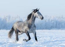 Grey Spanish-Pferdeläufe trotten auf dem schneebedeckten Gebiet des Winters Stockfoto