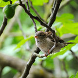 Grey sparrow on a tree branch. Focus on the bird. Stock Photos