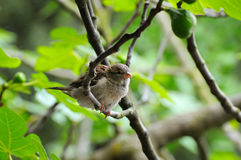 Grey sparrow on a tree branch. Focus on the bird. Stock Images