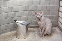 Grey sphinx cat sits near can with grey paint Stock Images
