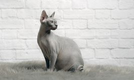 Grey sphynx cat sit on a fur blanket and look sideways. Grey sphinx cat siton a fur blanket and look sideways - on white brickstone background Stock Images