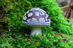 Mushroom Spotted Amanita in conifer forest scenery Royalty Free Stock Photography