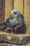 Grey spotted racing pigeon Stock Images