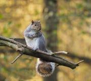 Grey Squirel s'asseyant sur une perche photographie stock libre de droits