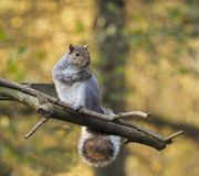 Grey Squirel sitting on a perch. A Grey Squirrel cups his paws as he sits perched on some branches royalty free stock photography