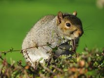 Grey  Squirell, Friend or Foe Royalty Free Stock Photography