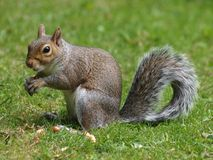 Grey Squirrel. On grass with nut in hands