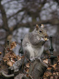 Grey Squirrel. Eating a peanut in its shell. Foreground is in focus - background is not Royalty Free Stock Photo
