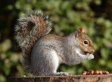 Grey Squirrel. A young Grey Squirrel eating hazelnuts Stock Photos