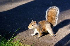 Grey squirrel. An adult eastern grey squirrel stock photo