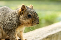 Free Grey Squirrel Royalty Free Stock Photography - 15118497
