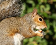 Grey Squirrel Stock Photography