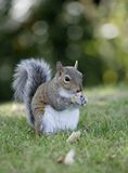 Grey Squirrel. Eating nut half side view Stock Image