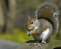 Grey Squirrel Royalty Free Stock Image