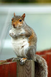 Grey squirrel. A cute grey squirrel sitting on a fence Royalty Free Stock Images