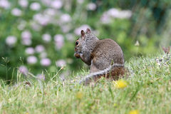 Grey Squirrel Royalty Free Stock Photos